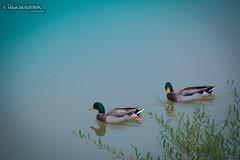 Two ducks (v.Haramustek) Tags: osijek osječkobaranjskažupanija croatia hr duck ducks rover drava water nature animals birds bush two swimming swim