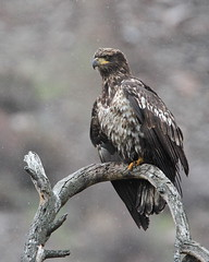 Snow flakes and bald eagle (jlcummins - Washington State) Tags: bird rapter kittitascounty washingtonstate canon tamronsp150600mmf563divcusd nature baldeagle eagle snow