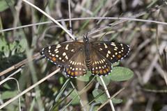 Chlosyne cyneas (K. Zyskowski and Y. Bereshpolova) Tags: mexico butterfly nymphalidae nymphalinae chlosyne cyneas