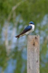 Tree Swallow, m (Delta Naturalists Casual Birding) Tags: 201619 dncb colony dncblocation dncboutingid