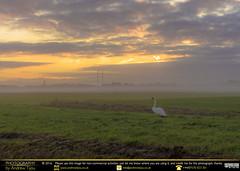 Lonely Swan (andrewtijou) Tags: andrewtijou nikond7200 europe netherlands southholland dutch delft sunrise swan mist morningmist