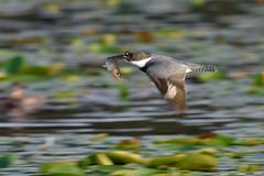 Belted Kingfisher (Gregory Lis) Tags: britishcolumbia beltedkingfisher burnabylake megacerylealcyon nikond7200 gorylis gregorylis