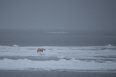 DSC_3426 (stacyjohnmack) Tags: july23 polarbear artic