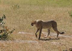 Kenya (Masai Mara) Cheetah [Explored, 20/08/2015] (ustung) Tags: park nature animal nikon kenya national cheetah masaimara