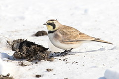 horned lark & poop (chiptape) Tags: winter portrait horse music brown sun black cold cute eye yellow garden spur freedom spring cowboy soft mask natural little outdoor pennsylvania song earth secret fear watch flight wing feather conservation dirty amish clean identity eat creation ear thief lancaster environment motivation waste elegant survival manure scavenger lark horned migrate