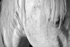 GENTLE GIANT   (In memory of Natasha Lowe)  -  (Selected by GETTY IMAGES) (DESPITE STRAIGHT LINES) Tags: morning horse nature animal inmemory countryside kent am nikon flickr horseface memory getty stable mothernature whitehorse equine mane gettyimages stables horsehair tash horsestables nikkor50mm paulwilliams nikon50mm d700 nikond700 despitestraightlines newbarnstables kayswabey natashalowe