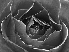 PERPIGNAN ROSE FLOWER BLACK AND WHITE (patrick555666751) Tags: pink white black france flower colour macro blanco fleur rose branco und europe noir y negro flor patrick blumen preto e and roger fiori jordi festa et weiss roussillon sant bianco blanc nero schwarz perpignan pyrenees orientales catalogne 2015