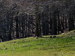 Annunci di primavera (giorgiorodano46) Tags: primavera spring crocus april aprile beech 2011 faggi giorgiorodano