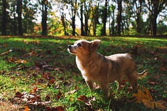 Sage (Jake Arciniega) Tags: park portrait dog chihuahua fall oregon portland bokeh outdoor 28mm pomeranian pnw oregoncity pomchi 28mm18 vsco canon7d vscocam