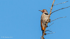 Red-shafted Northern Flicker (m) (Bob Gunderson) Tags: california birds northerncalifornia woodpeckers southbay santaclaracounty northernflicker colaptesauratus shorelinelake canoneos7dmarkii