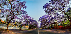 Wide Street with Jacaranda Trees, Pretoria (Paul Saad (( ON/OFF ))) Tags: street trees sky urban color colour nature weather southafrica outdoors spring purple panoramic jacaranda hq pretoria hdr jacarandatree