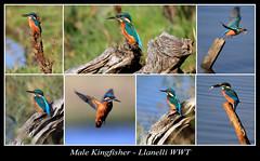 Kingfisher Collage 4 (JDPhotography -) Tags: birds kingfisher waterfowl wwt waterbirds johndavies llwynhendy penclacwydd wwtwales jdphotography wwtllanelli picasa3 llanelliwwt malekingfisher copyrightjohndavies wwtnationalwetlandscentrewales waleswwt waleswildfowlwetlandscentre