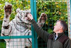 Paradise_DSC6481 (Nick Woods Photography) Tags: cat paradise feeding tiger bigcat feed whitetiger carnivore paradisewildlifepark handfeed tigerfeed feedingthetiger