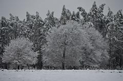 Negua (KatuBeltza13) Tags: winter snow tree canon landscape arbol nieve paisaje invierno bizkaia euskalherria euskadi vizcaya basquecountry elurra zuhaitza 200mm paisaia negua larrabetzu