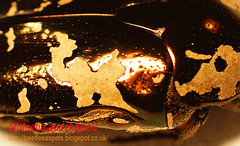 Protaetia aurichalcea, from Reunion Island (Radio Ga Ga Broadcasts Again) Tags: uk london giant unitedkingdom sale breeding exchange larvae chafer reunionisland goliathbeetle flowerbeetle insectphotography mecynorrhinatorquataugandensis protaetiaaurichalcea goliathusorientalispreissi exotictropicalbeetle breedingtips breedingreports