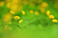 DSC_6499 (Calling Nature) Tags: blur flower macro green nature yellow leaf nikon bokeh creative kerala d750 tamron 90mm depth macrophotography nilambur