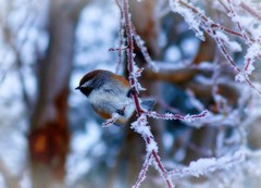 Boreal Chickadee - Alaska (Explored) (JLS Photography - Alaska) Tags: winter bird texture birds animal alaska bokeh outdoor pastel wildlife depthoffield chickadee wilderness chickadees borealchickadees jlsphotographyalaska