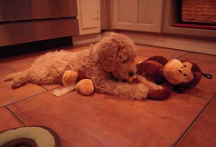 cormack-finnegan-is-one-of-cece-and-chewys-puppies-_4873996956_o