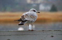 DSC_0867 (Six Sigma Man (Thank you for the 1.6M+ views)) Tags: bird nikon seagull longisland nikond3200 coldspringharbor