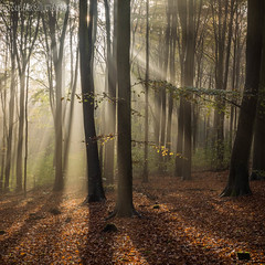 Same woods, same day, different crop.... (Sue MacCallum-Stewart) Tags: trees light sussex woods earlymorning beech fristonforest