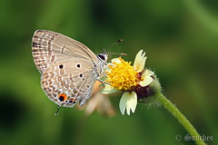 Plains Cupid on a Tridax Daisy (savio.sanches) Tags: india flower macro green nature yellow closeup butterfly insect fly wings outdoor goa daisy flowering nectar resting cupid plains fluttering flutter pollination lycaenid cycadblue creamybokeh plainscupid tridaxprocumbens coatbuttons