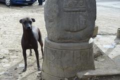 Peruvian hairless dog (*Andrea B) Tags: november dog peru hairless peruvian huaraz 2015 peruvianhairlessdog november2015