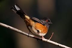 Red eye (Adam Wang) Tags: bird nature branch wildlife redeye towhee
