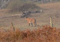Royal Bengal Tiger (bursar103) Tags: india tiger pantheratigristigris royalbengaltiger