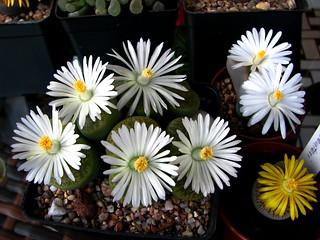 Lithops lesliei Albinica