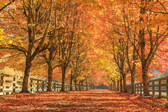 _D4_1061 (kevinle4230) Tags: fallfoliage foliage canon5dmarkiv iv seattle washington fall leaves autumn sun sunray red yellow ranch mountain