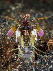 Careful now... (Christian Gloor (mostly) underwater photographer) Tags: smashing mantis shrimp odontodactylus latirostris diving underwater defensive defence threat lembeh indonesia sulawesi nauticam olymous omd em5
