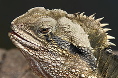 Close up of a dragon (Howard Ferrier) Tags: botanicalgardens crest portrait photography seq vertebrate easternwaterdragon pond australia citybotanicgardens chordate lizard reptile brisbane queensland