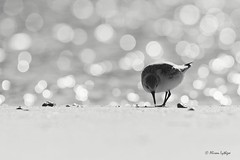 Sanderling in Lights (Ali Ly) Tags: autumn beach bokeh calidrisalba day outdoor rspb sand sanderling sea shorebird titchwell wader