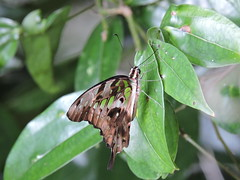 Liuzhou/ - Graphium agamemnon/Tailed Jay/ DSCN6646 (Petr Novk ()) Tags: graphiumagamemnon tailedjay  graphium  papilionidae greenspottedtriangle tailedgreenjay greentriangle  china na  guangxi  liuzhou  asia asie  animal  insect hmyz  lepidoptera motl  butterfly wildlife nature macro