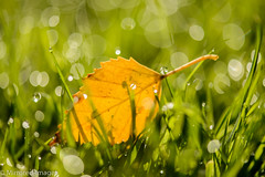 Autumn Dew (Mirrored-Images) Tags: bokeh closeup colour dewdrops garden grass leaf light macro nature outdoor waterdrops