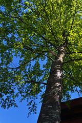 ''Tranquilidad'' (Vctor Nez) Tags: rbol cielo celeste green verde sabio naturaleza nature natural sombras viejo old puertomontt chile