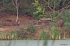 Capybara / Hydrochoerus hydrochaeris / Capybara (Laval Roy) Tags: mammifres mammals rongeurs caviids eos7d ef300mm14lisextender14xiii canon lavalroy brzil hydrochoerushydrochaeris capybara rodents