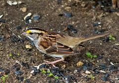 White-throated Sparrow (johnny4eyes1) Tags: birds whitethroated wildlife alleypondpark sparrow nature