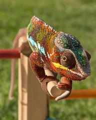Panther Chameleon (Jorge Ibarra L.) Tags: lizard lagarto reptile reptil animal pantherchameleon