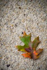 (280/366) Autumn Leaf (CarusoPhoto) Tags: autumn fall autumnal smc pentaxa 28mm f28smcpentaxa28mmf28 pentax ks2 john caruso carusophoto photo day project 365 366 nature natural