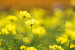 play in the dream (hitohira_) Tags: flower flowers nature bokeh cosmos