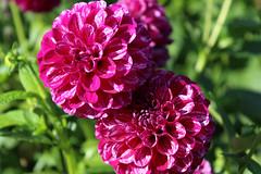 Britzer_Garten_Berlin_Dahlien-1 (Mariane Sgarbi) Tags: berlin britzergarten dahlien dalias flowers flores park garten primavera fruhling