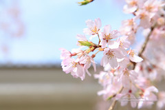 () Tags: canon 1dx ef24105mmf4lis sakura     japan japanesestyle        flowers