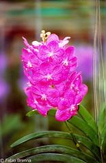 Thailandia0069 (Fabio Brenna) Tags: flower flowers fiori fleurs flores colors orchid orchidea orchidee orchids orqudeas orchides