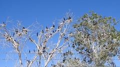 Neotropical Cormorants nesting colony (aurospio) Tags: arizona chandlerarizona maricopa cormorant neotropicalcormorant neotropical bird nest nesting colony canal water gularfluttering gularflutter gular cooling