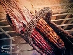maize basket (Lana Pahl / Country Star Images) Tags: catchycolors colorsofflickr autumncolors autumnseason classicstilllifeart colorsoftheworld foreverautumn