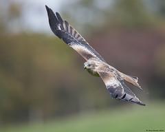 Red kite : Milvus milvus (Jerry Hawker) Tags: redkite gigirinfarm red kite wales feedingstation birdofprey jerryhawker