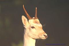 Lets Rock!.... (law_keven) Tags: fallowdeer deer richmond richmondpark london england animals animal horns wildlife nature parks parklife