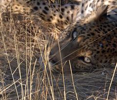 Namibia's Beauty:  21.  Okonjima ... the leopard awakes (ronmcbride66) Tags: namibia okonjima namibiasbeauty leopard predator toppredator bigcat eyes leopardeyes bush okonjimaplains i catnap sleep awake wakenup coth5