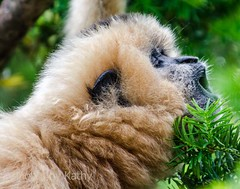 DSC_1328_edited-1s (Photos by Kathy) Tags: cincinnatizoo animals zoo zoos nature kathymoore nikon2000 primate gibbon white h